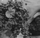 Il vino naturale esiste?