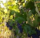 Un po' di pensieri di Veronelli sul vino.