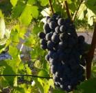 Il vino tra i motori trainanti della nostra economia. Parola di Ministro