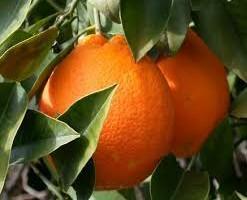 Contro le arance siciliane